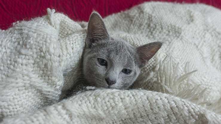 gatto lecca le coperte