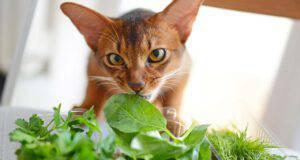 gatto può mangiare basilico