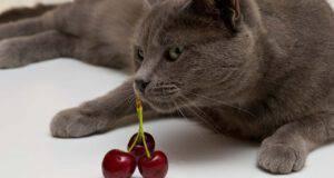 gatto puo mangiare ciliegie