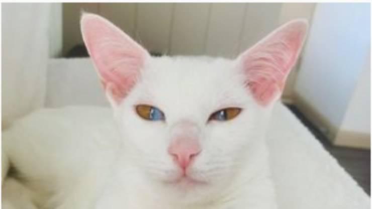La gattina dagli occhi bicolore (Foto Instagram)
