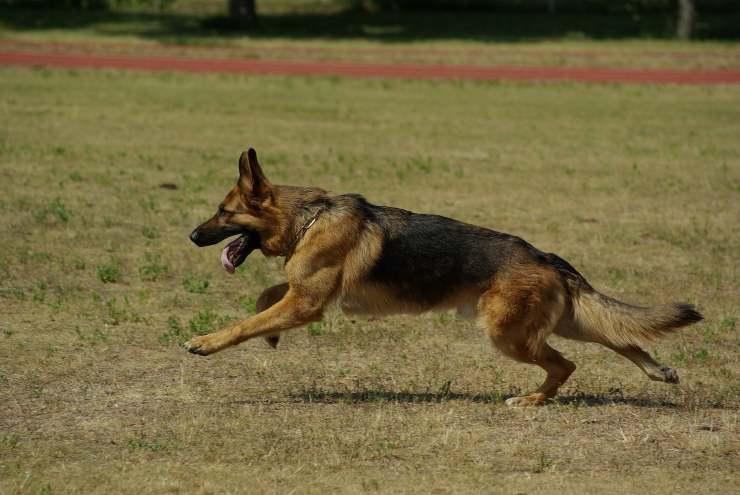 Razza canina forte