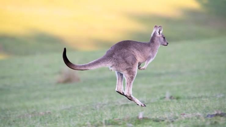 gli animali che saltano più in alto