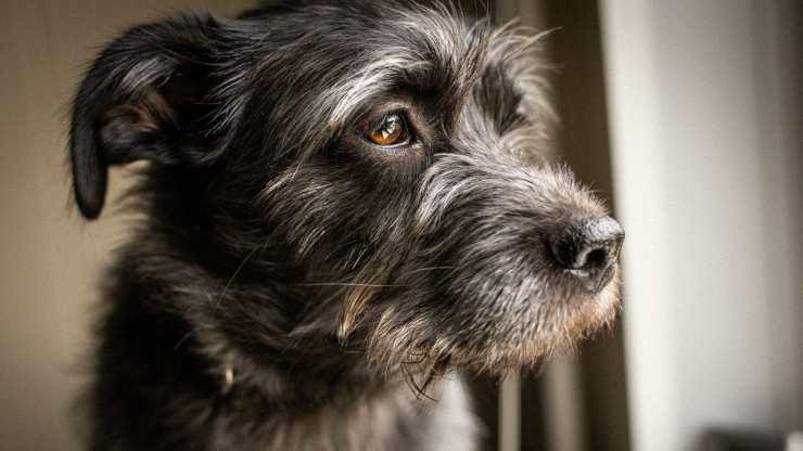 il cane ha i peli bianchi