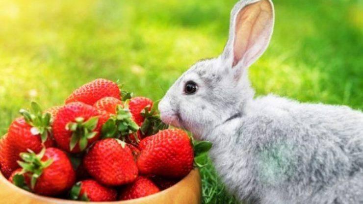 il coniglio può mangiare le fragole