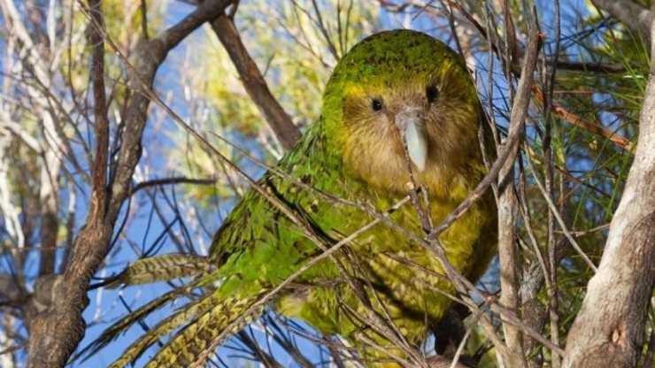 il pappagallo più grasso del mondo