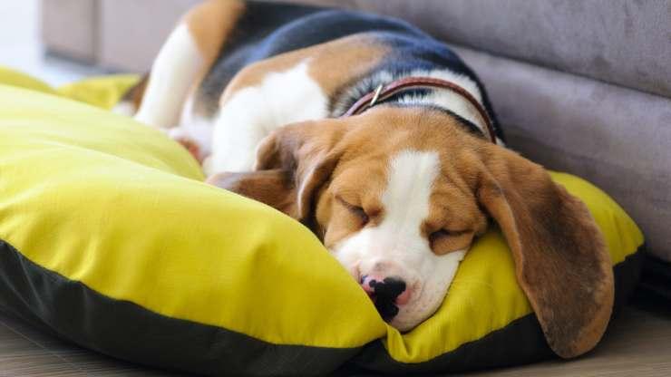 importanza sonno cane