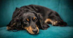 ipertiroidismo nel cane