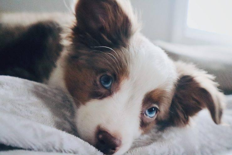 Il cane adulto e il pianto