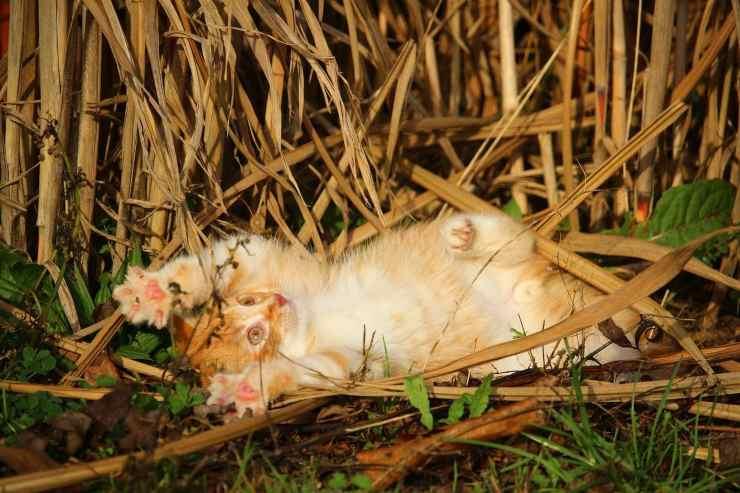 gatto laccio bracconiere