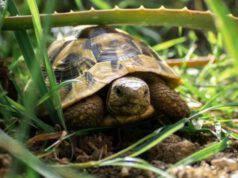 la tartaruga di terra può mangiare la cicoria