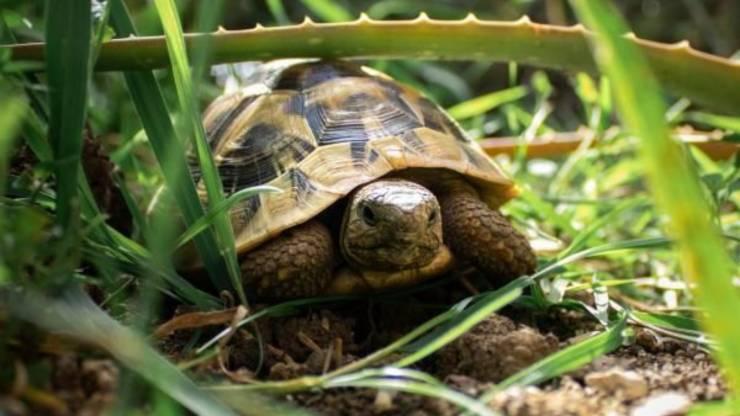 Tartaruga Galapagos 100 Anni
