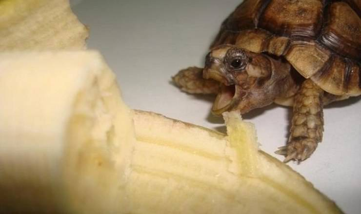 la tartaruga può mangiare la banana