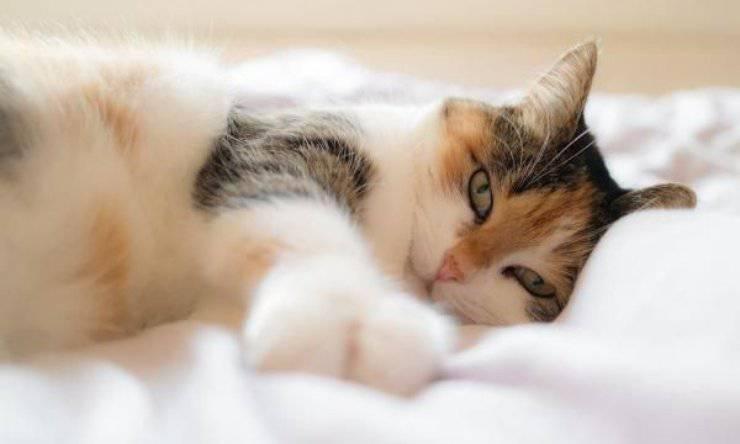 le fusa del gatto riducono lo stress