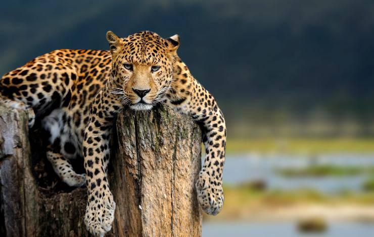 leopardo su roccia