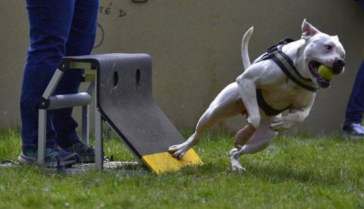lo sport Flyball per il cane