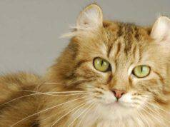 malattie comuni american curl longhair