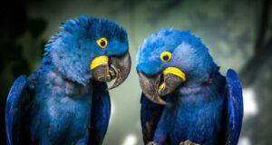 pappagalli blu