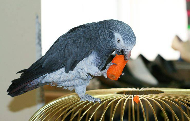 pappagallo mangia carote