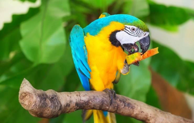 pappagallo e frutta