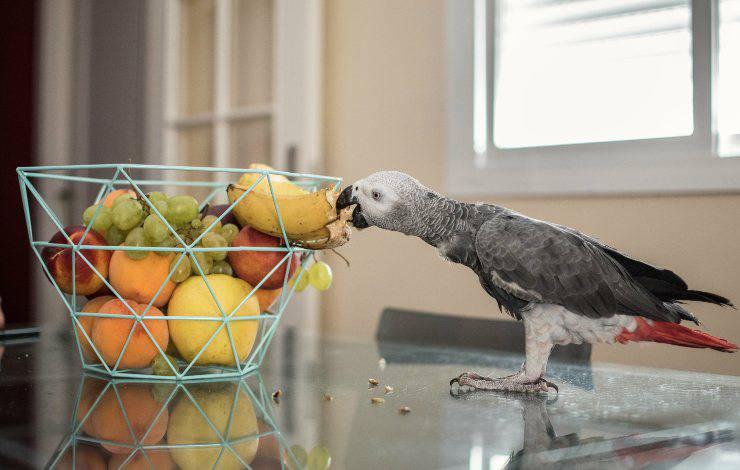 pappagallo mangia kiwi