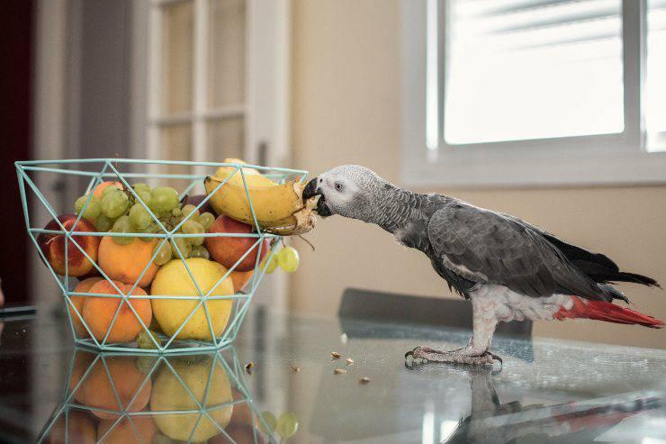 pappagallo mangia la frutta