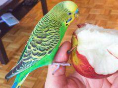 pappagallo mangia mela