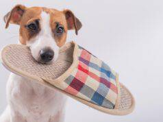 perché cane ruba pantofole