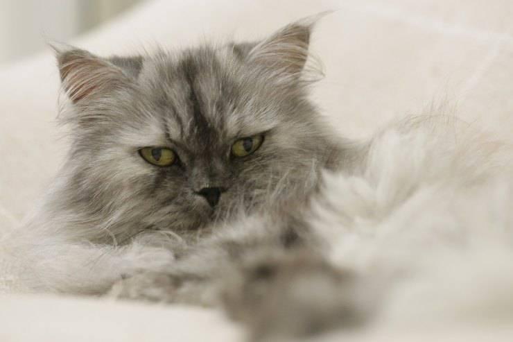 Gatto perde pelo