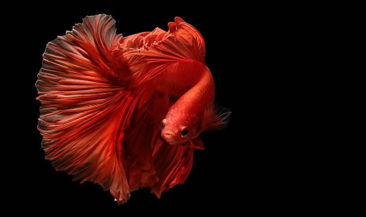 pesce combattente rosso