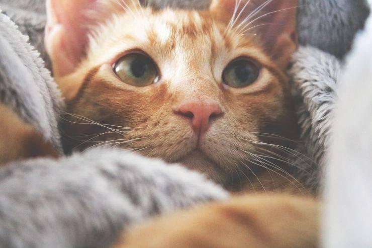La perdita di pelo nei gatti