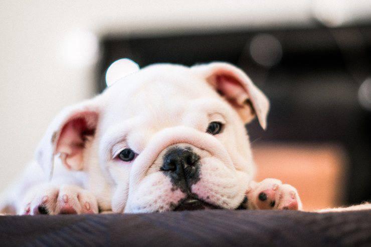 Il cane e le infiammazioni