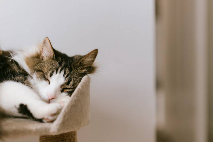 La minzione nel felino