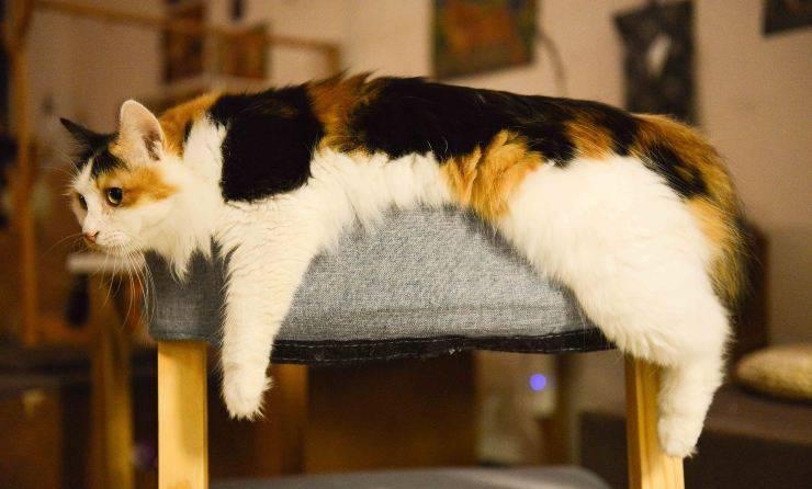 Gatti che soffrono il caldo