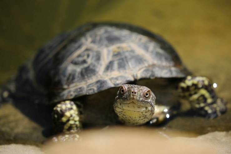 Tartaruga si nasconde
