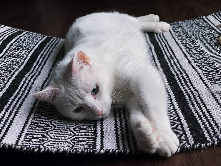 Il vomito del gatto