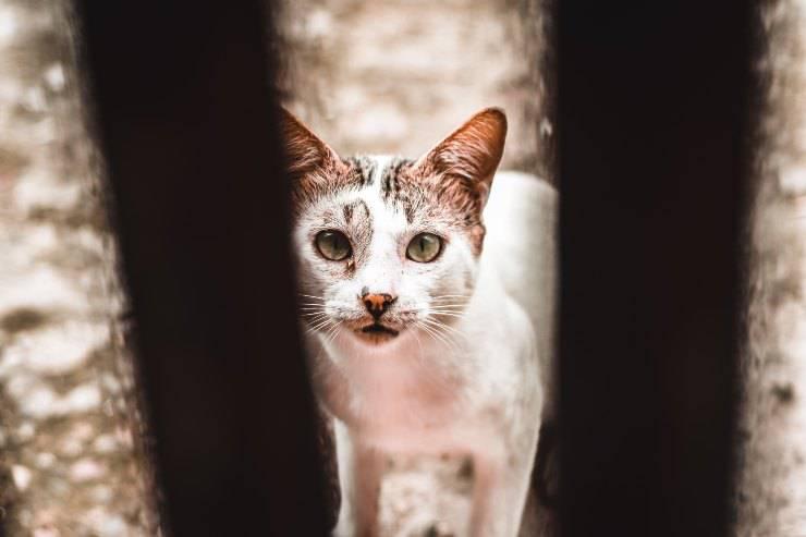 Razze feline che cacciano i topi
