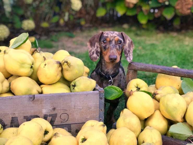 Il cane fa la guardia al cibo