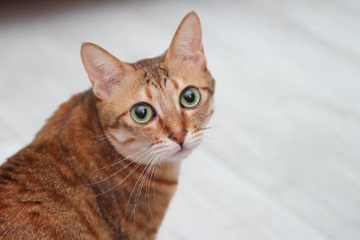 Il gatto e l'ulcera alla cornea