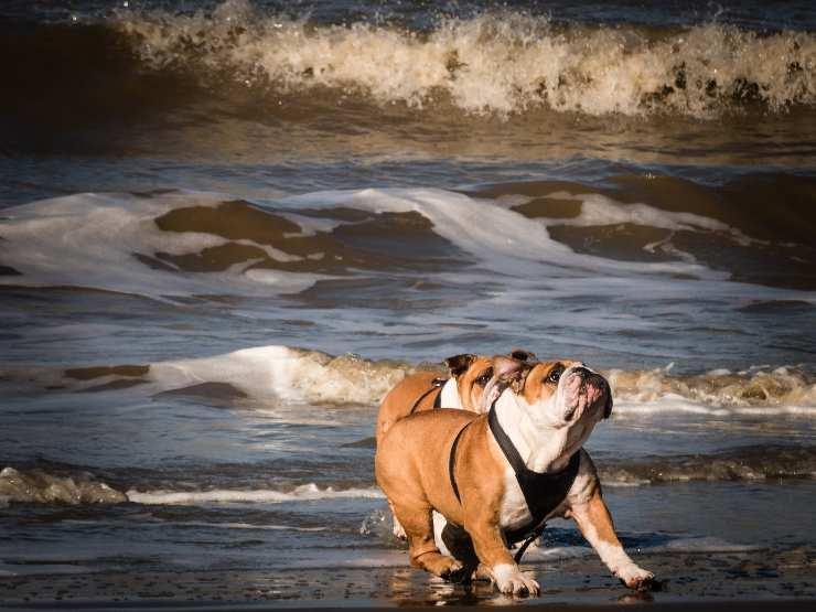 Razze canine che non possono nuotare