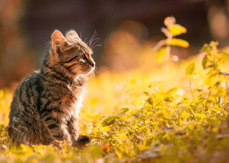 Razze di gatti che soffrono il caldo