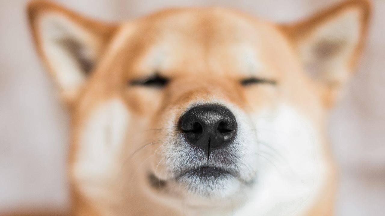 più potente olfatto udito cane