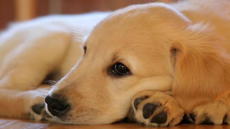 Cucciolo sdraiato (Foto Pixabay)