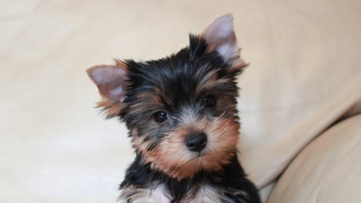 cucciolo yorkshire terrier cane curiosità storia origini