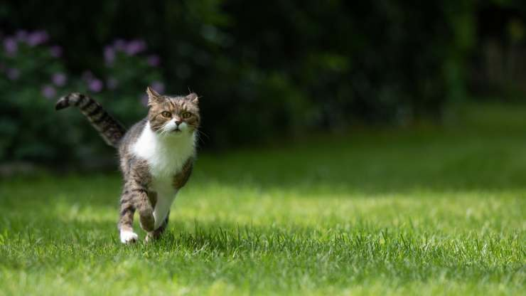 quanto velocemente può correre gatto