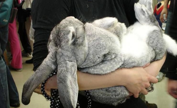 razze conigli giganti