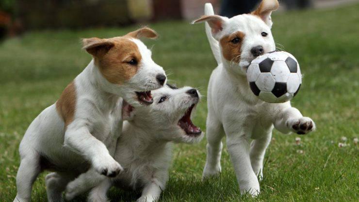 razze di cani iperattivi