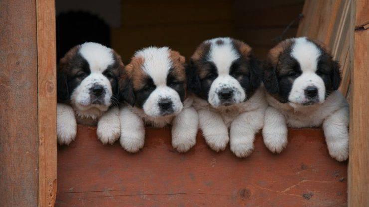 razze di cani per chi vive in campagna
