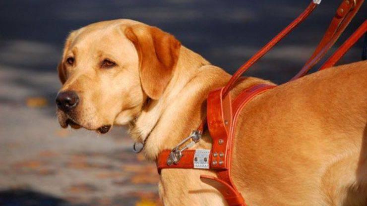 razze di cani per disabili