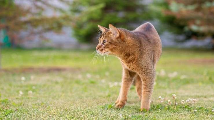razze gatti veloci