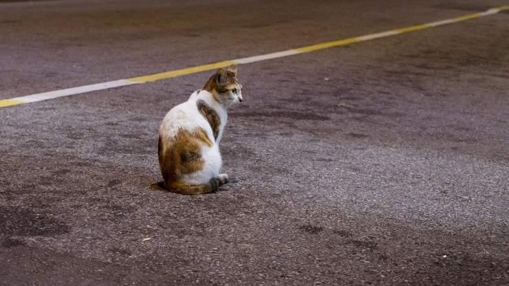 gatto cammina carreggiata autostrada